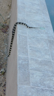 Baby King snake slithering off after eating a mouse