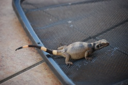 Baby Chuckwalla lizard rescued from the pool